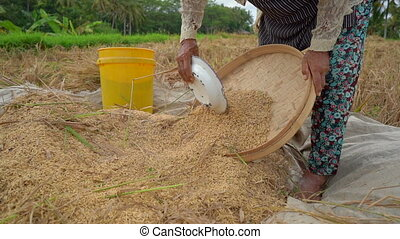 farmers separate rice grains from stalks. Rice harvesting. ...