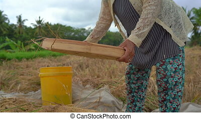 farmers separate rice grains from stalks. Rice harvesting.
