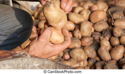 Farmer's strong hands sort out a good select big potato in a hangar and put it into an old iron bucket. Harvest potatoes in the fall.