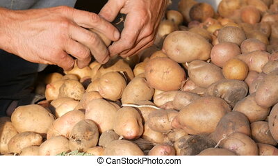Farmer's strong hands sort out a good select big potato in the hangar. Harvest potatoes in the fall.