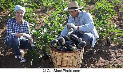 Man and woman together harvest eggplant on summer plantation