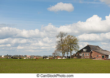 Farmhouse in Holland with livestock as cows