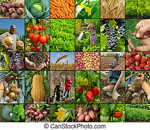 farming collage - vegetables growing and harvested at farm