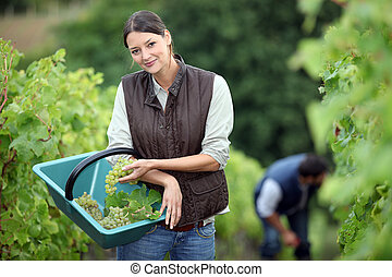 Farming couple collecting grapes