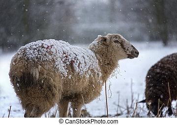 Farming - Livestock in Winter Snow