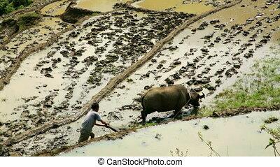 farming plowing with ox, farm in Sapa, Vietnam, primitive...