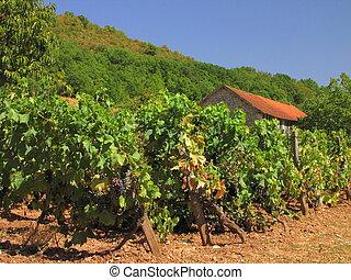 Farming, Vine, grapes, fruit