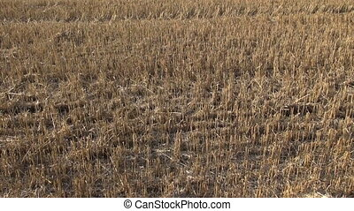 farmland field with wheat stubble after harvesting