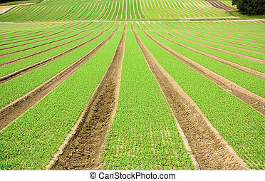 Farmland furrows with new planting in perspective