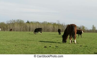 farmland - horses and cows on pasture