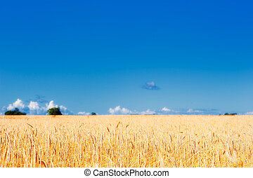 Panorama of ripe meadow wheat on the farmland