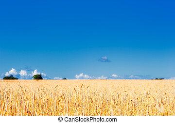 Farmland - Panorama of ripe meadow wheat on the farmland