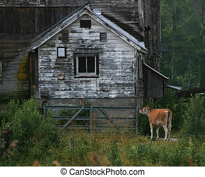 A rural scene with cow and barn