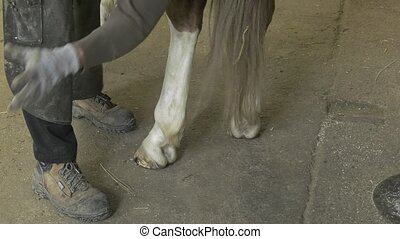 farrier replace horseshoes - Farrier places the hot...
