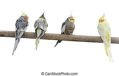 farve, pol, papegøjer