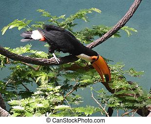 farverig, træ, toucan, branch, balancere, fugl