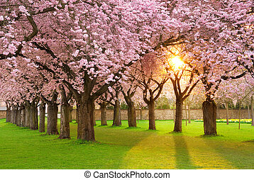 Fascinating springtime scenery - Richly blossoming cherry...