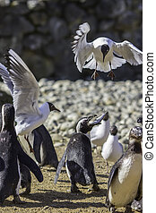 Fast Food Fight. Penguins mobbed by seagulls.