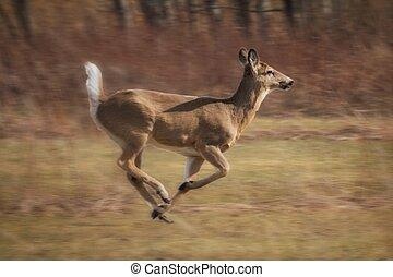 Fast running deer in field near forest