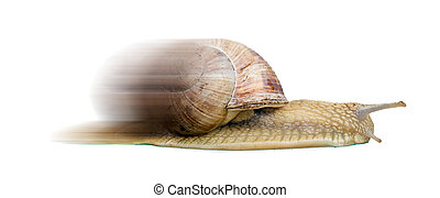 fast snail - garden Snail isolated on white background