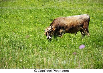 Fastened bull