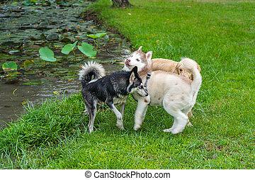 Fat alaskan malamute and husky dog playing near the lake. High quality photo