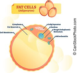 Fat cell structure vector illustration. Labeled anatomical ...