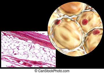 Fat cells, micrograph and 3D illustration