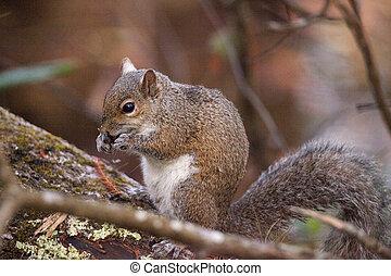Fat eastern gray squirrel Sciurus carolinensis forages for...
