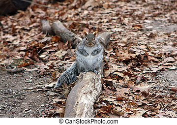 Fat Gray Squirrel On Log