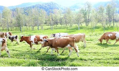 fat herd of cows in a mountainous area is on green grass....