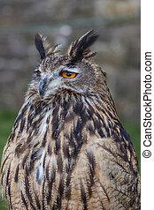 Fat Long eared owl