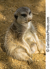 fat meerkat relaxing like a person