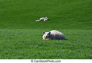 Fat Sheep Resting in a Grass Field in England