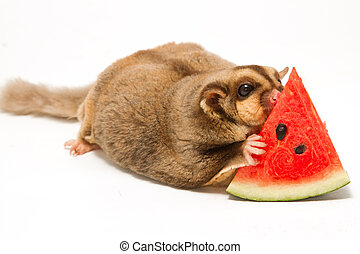 fat sugar-glider eatting melon on white background