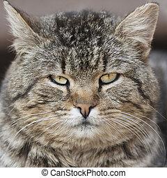 fat tabby cat portrait