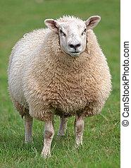 Fat woolly sheep