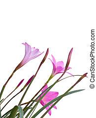 fata, giglio, fiori
