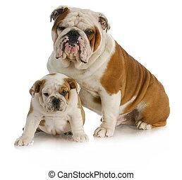 father and son dog - dog father and son - english bulldog ...