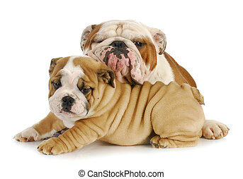 father and son dogs - two english bulldogs cuddling on white...