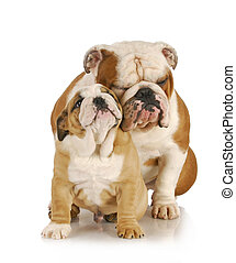 father and son dogs - two english bulldogs sitting on white...