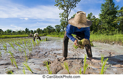 father and son growing rice
