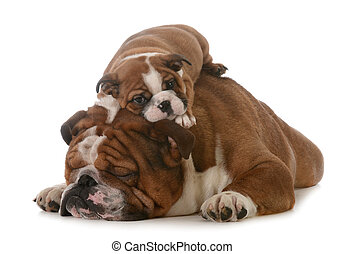 father and son - father's day - father and son bulldogs...