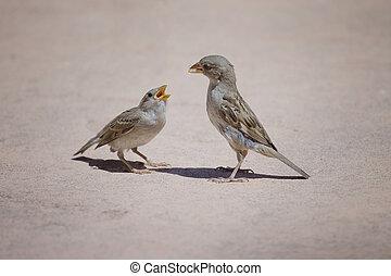 father sparrow feeding his kid