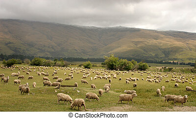 Fattening up - Sheep grazing in NZ