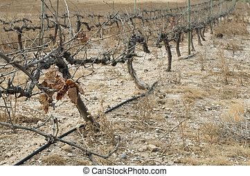 fattig, skörd, vingårdar