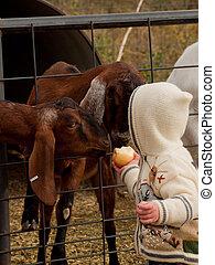 fattoria, bambino primi passi