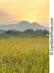fattoria, dorato, sopra, tramonto, campo