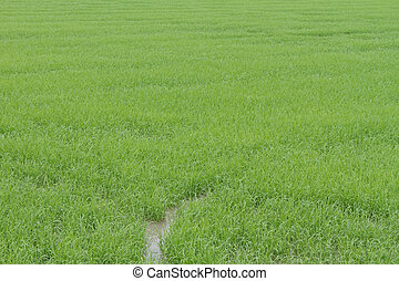 fattoria, foto, riso