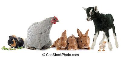 fattoria, gruppo, animali